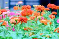 I bei fiori di zinnia stanno fiorendo in giardino Fotografia Stock