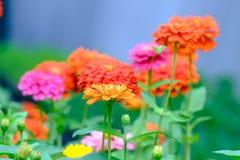 I bei fiori di zinnia stanno fiorendo in giardino Fotografie Stock