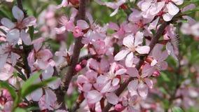 I bei fiori rosa in una molla fanno il giardinaggio, scuotendo sul vento, fine su Le api stanno volando intorno video d archivio