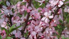 I bei fiori rosa in una molla fanno il giardinaggio, scuotendo sul vento un giorno soleggiato stock footage
