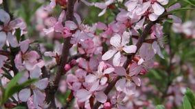I bei fiori rosa in una molla fanno il giardinaggio, un giorno soleggiato Una formica sta sollevando stock footage