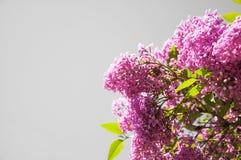 I bei fiori si sviluppano su un cespuglio lilla fotografie stock
