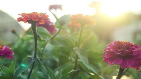 I bei fiori variopinti di estate fanno il giardinaggio al rallentatore con gli effetti del chiarore del lense e del sole 1920x108 video d archivio