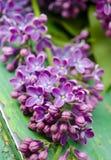 I bei fiori viola lilla freschi su un fondo di legno Chiuda su dei fiori lilla Fiore della primavera, lillà del ramoscello Fotografie Stock Libere da Diritti