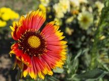 I bei flowerses si sviluppano in giardino Immagini Stock Libere da Diritti