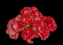 I bei garofani rossi in un mazzo indietro appoggiano la terra Fotografia Stock