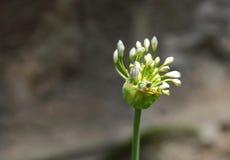 I bei germogli del giglio porpora del Nilo fioriscono, il Kenya Fotografia Stock