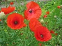 I bei papaveri rossi hanno fiorito vicino alla strada immagine stock libera da diritti