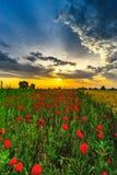 I bei papaveri rossi sistemano la vista panoramica dell'alba, l'Alsazia, Fran Immagine Stock