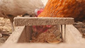 I bei polli mangiano il grano Primo piano archivi video