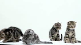 I bei scottish piegano e gattini diritti in uno studio bianco Priorità bassa bianca Movimento lento stock footage