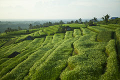 I bei terrazzi del riso di Jatiluwih in Bali, Indonesia fotografia stock