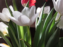 I bei tulipani Fotografie Stock