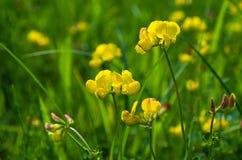 I bei wildflowers si sviluppano all'aperto di estate Immagine Stock Libera da Diritti