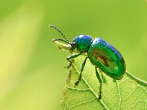 I believe this is a dogbane beetle - on a green leaf with a smooth green background / bokeh - taken in Theodore Wirth Park in Minn. Esota royalty free stock image