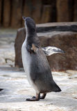 I believe, I can fly. Young penguin trying to fly stock image