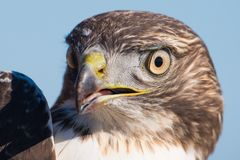 I believe a sharp-shinned juvenile hawk portrait - close up - at Hawk Ridge Bird Observatory in Duluth, Minnesota during Fall migr stock images