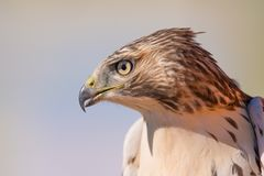 I believe a sharp-shinned juvenile hawk portrait - close up - at Hawk Ridge Bird Observatory in Duluth, Minnesota during Fall migr royalty free stock photography