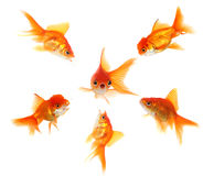 I am in Big Trouble. Angry Goldfish Ganging Up on a Peer. Concept Illustrates Pressure, Shock or Getting Caught Stock Photos