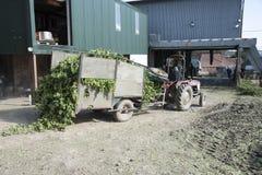 I bines del luppolo arrivano per l'elaborazione dalla piantagione di luppolo Fotografia Stock