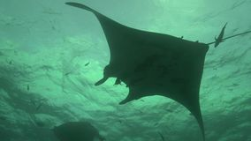 I birostris e gli operatori subacquei di Ray Manta di manta in EL Boilier oscillano vicino all'isola di Sanbenedicto dall'arcipel archivi video