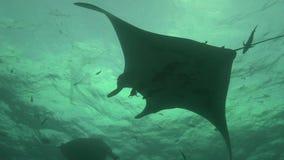 I birostris e gli operatori subacquei di Ray Manta di manta in EL Boilier oscillano vicino all'isola di Sanbenedicto dall'arcipel archivi video