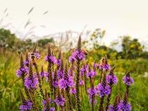 I bombi impollinano i wildflowers durante l'estate Paesaggio della prateria fotografia stock libera da diritti