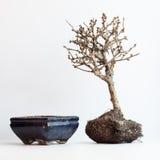 I bonsai inariditi su un fondo bianco Fotografia Stock