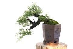 I bonsai isolano su bianco Immagini Stock Libere da Diritti