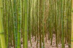 I boschetti di bambù spessi si chiudono su fotografia stock