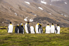 I am the boss today! King Penguins Stock Images