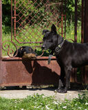 I am the boss. Wide awake black dog keeping the court gate from the dog intruder Royalty Free Stock Photography