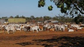 I bovini da carne australiani del brahman sono tenuti ad un'iarda del bestiame video d archivio