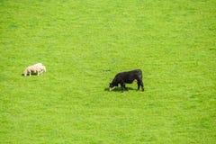 I bovini da latte e gli ovini bianchi pascono l'erba sul campo verde di mattina in Nuova Zelanda Immagine Stock Libera da Diritti