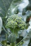 I broccoli piantano vicino sul tiro fotografia stock libera da diritti