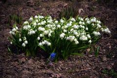 I bucaneve sono i primi fiori della molla che fioriscono molla in anticipo Immagini Stock