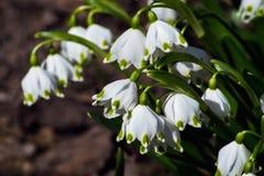 I bucaneve sono i primi fiori della molla che fioriscono molla in anticipo Fotografia Stock Libera da Diritti