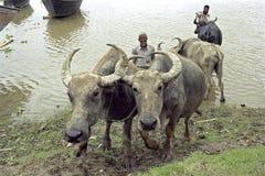 I bufali d'acqua sono lavati dagli agricoltori nel fiume Immagini Stock Libere da Diritti
