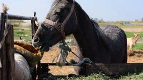 2 I 1, bunden grå häst som äter hö från släpet lager videofilmer