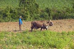 I buoi e l'uomo arano il campo nelle birre inglesi del ½ del ¿ di Valle de Viï, in Cuba centrale Fotografie Stock Libere da Diritti