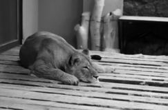 I buren & x28en; lion& x29; arkivbilder