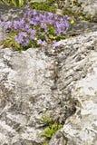 I byn av Colonnata finns det blommor av lösa växter som är födda bland vaggar De lilla trädgårdarna av byvärden arkivfoto