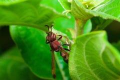 I calabroni nell'ambito di grande cima delle foglie Fotografie Stock