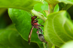 I calabroni nell'ambito di grande lato delle foglie Fotografia Stock