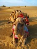 I cammelli al tramonto in Thar abbandonano, vicino a Jaisalmer fotografie stock
