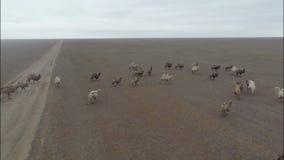 I cammelli pascono nelle steppe della Calmucchia video d archivio