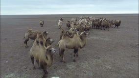 I cammelli pascono nelle steppe della Calmucchia stock footage
