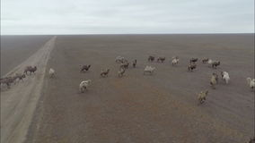 I cammelli pascono nelle steppe della Calmucchia archivi video