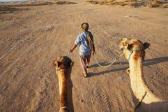 I cammelli seguono il driver nel primo mattino in deserto immagine stock