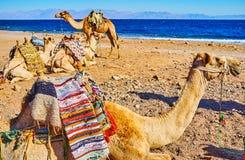 I cammelli sulla costa di mare, Sinai, Egitto fotografia stock
